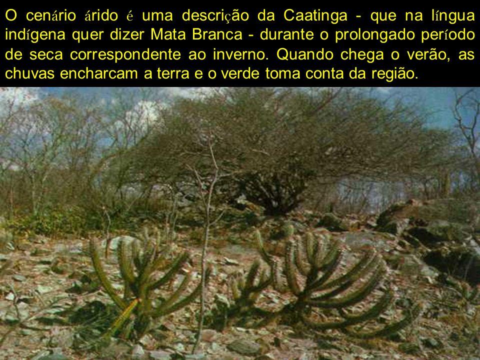 O cenário árido é uma descrição da Caatinga - que na língua indígena quer dizer Mata Branca - durante o prolongado período de seca correspondente ao inverno.