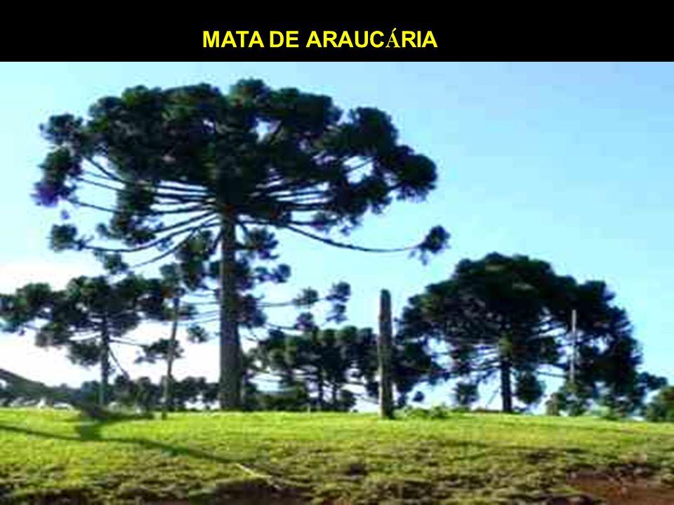 MATA DE ARAUCÁRIA