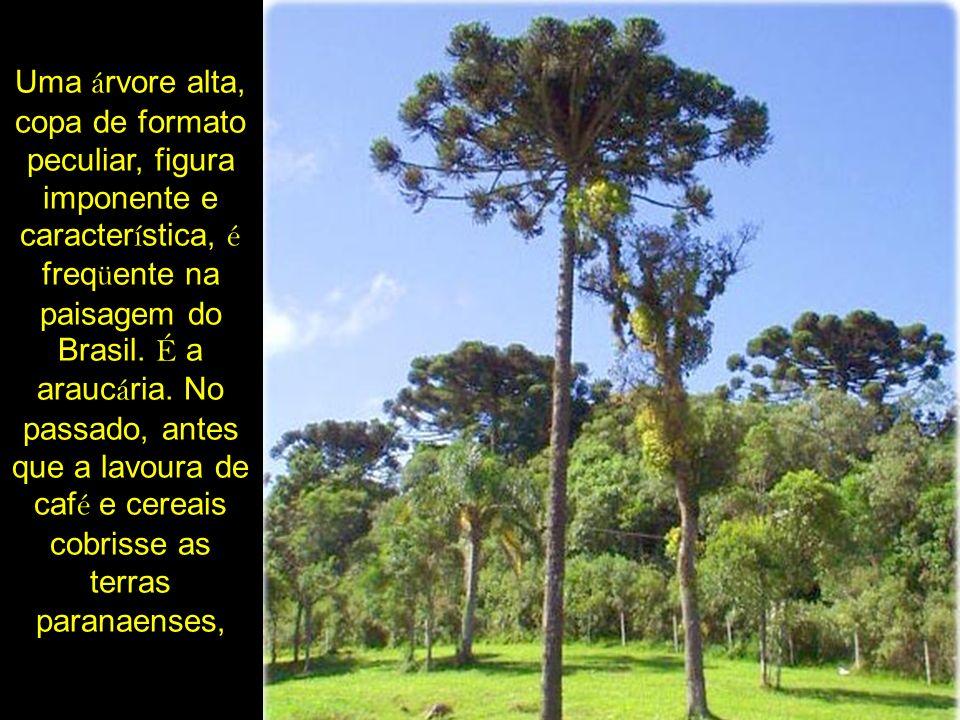 Uma árvore alta, copa de formato peculiar, figura imponente e característica, é freqüente na paisagem do Brasil.