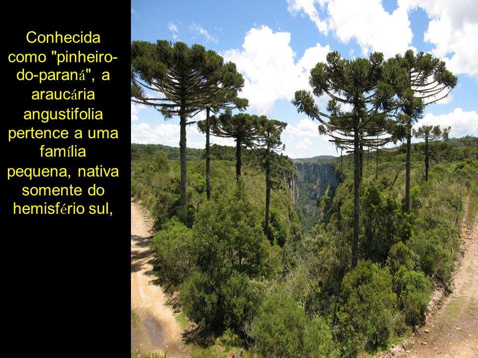 Conhecida como pinheiro-do-paraná , a araucária angustifolia pertence a uma família pequena, nativa somente do hemisfério sul,