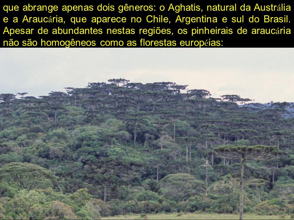 que abrange apenas dois gêneros: o Aghatis, natural da Austrália e a Araucária, que aparece no Chile, Argentina e sul do Brasil.