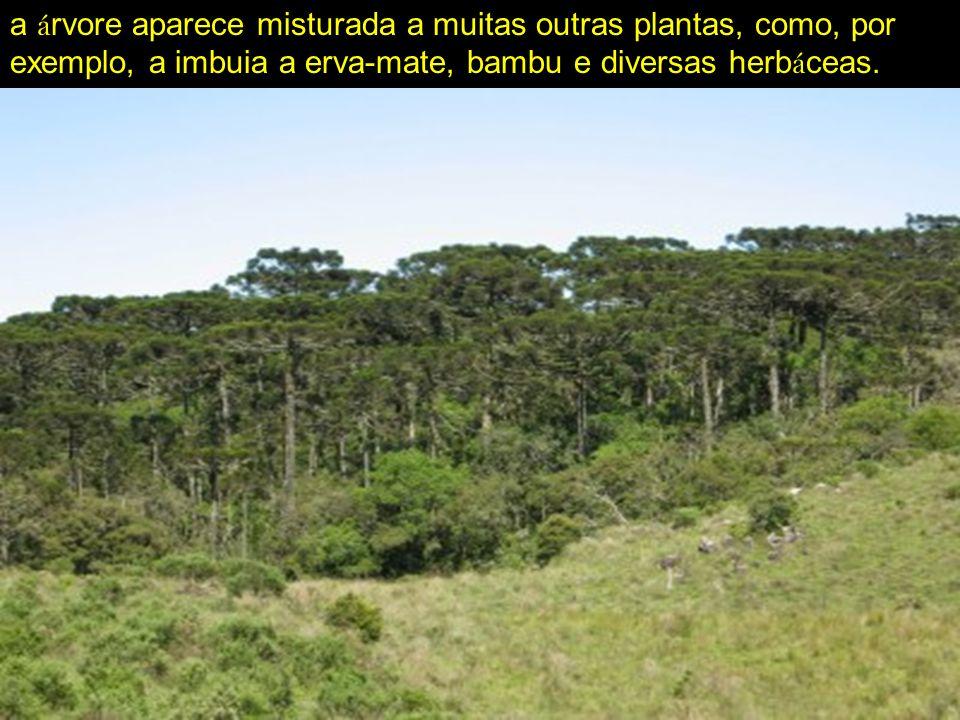a árvore aparece misturada a muitas outras plantas, como, por exemplo, a imbuia a erva-mate, bambu e diversas herbáceas.