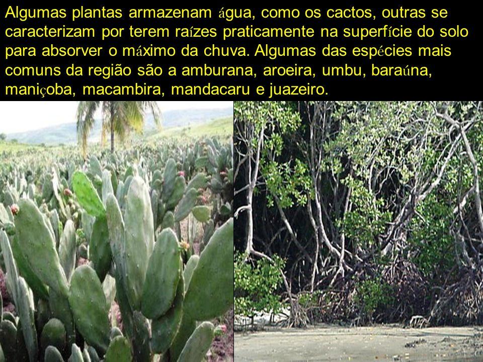 Algumas plantas armazenam água, como os cactos, outras se caracterizam por terem raízes praticamente na superfície do solo para absorver o máximo da chuva.