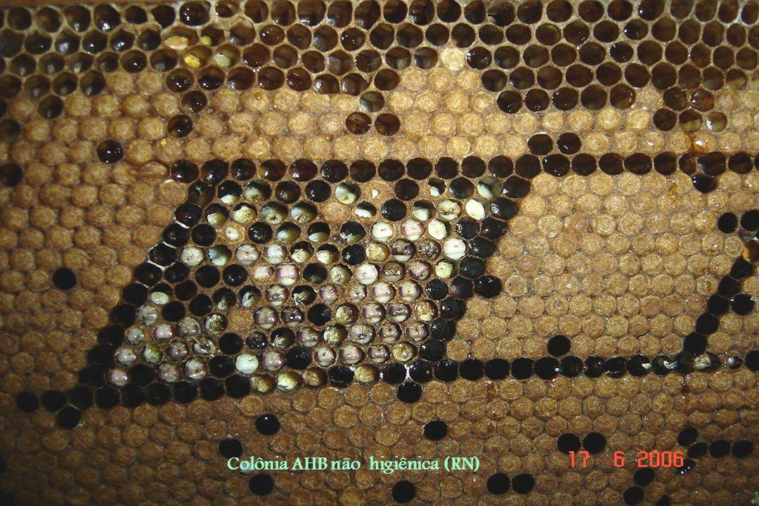 Colônia AHB não higiênica (RN)