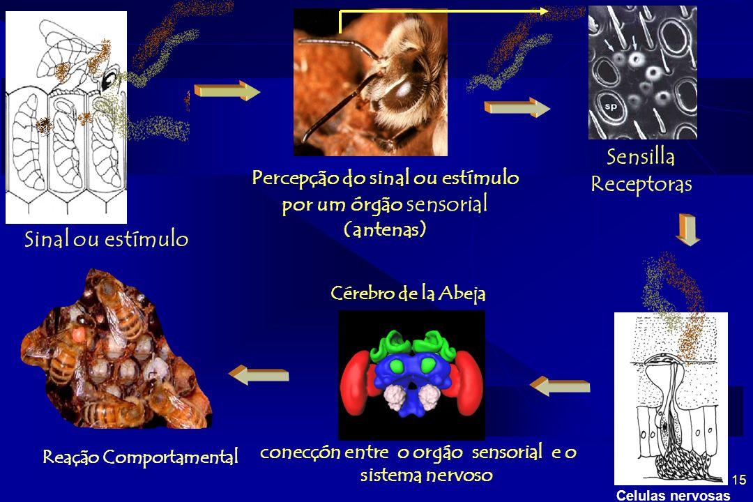 Sensilla Receptoras Sinal ou estímulo