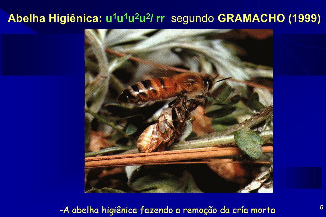 -A abelha higiênica fazendo a remoção da cría morta