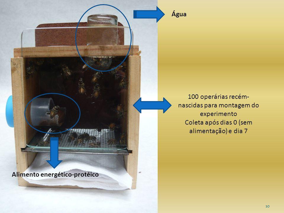 100 operárias recém-nascidas para montagem do experimento