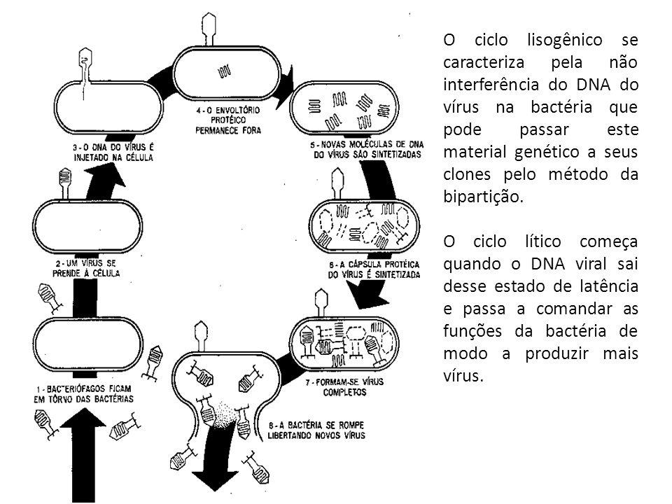 O ciclo lisogênico se caracteriza pela não interferência do DNA do vírus na bactéria que pode passar este material genético a seus clones pelo método da bipartição.