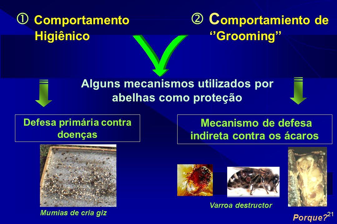  Comportamento Higiênico  Comportamiento de ''Grooming''