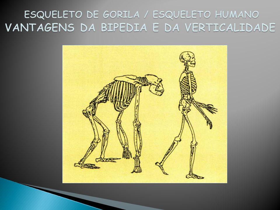 ESQUELETO DE GORILA / ESQUELETO HUMANO VANTAGENS DA BIPEDIA E DA VERTICALIDADE
