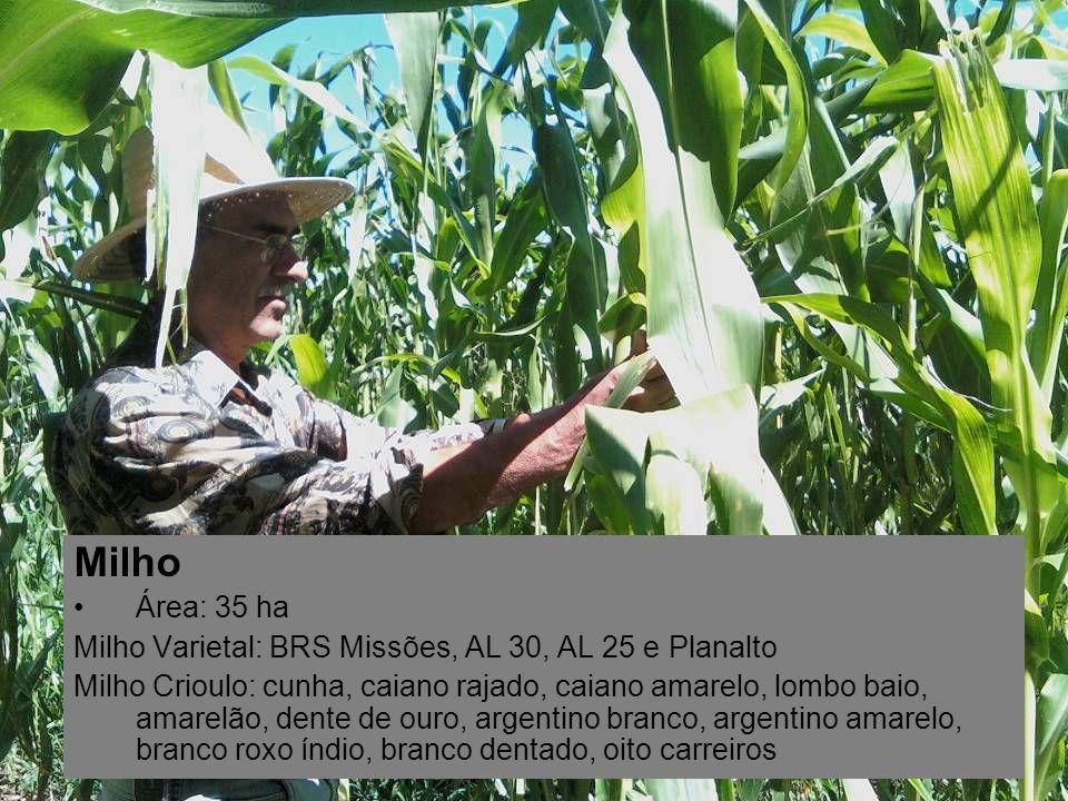 Milho Área: 35 ha Milho Varietal: BRS Missões, AL 30, AL 25 e Planalto