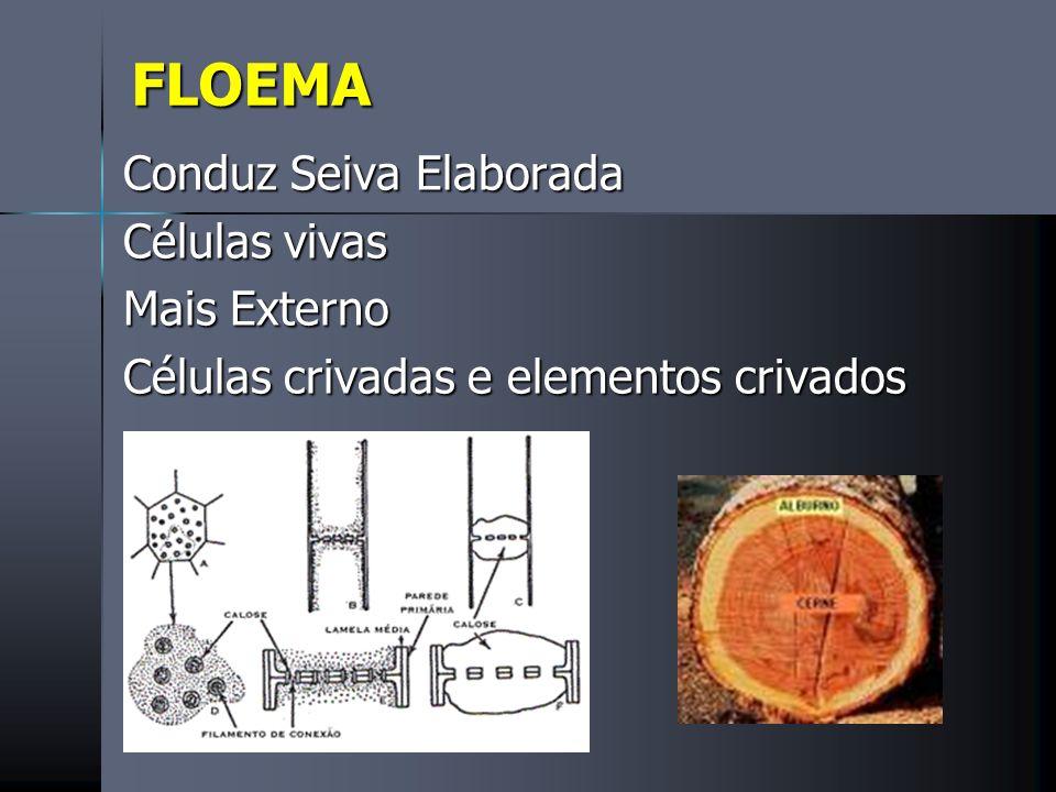 FLOEMA Conduz Seiva Elaborada Células vivas Mais Externo