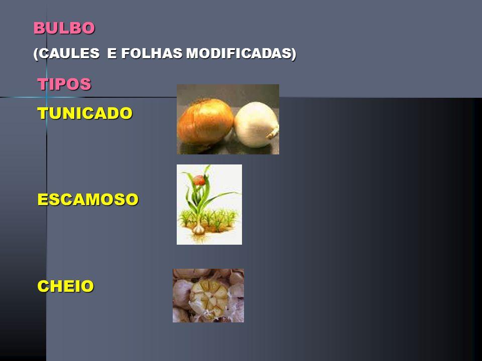 BULBO (CAULES E FOLHAS MODIFICADAS) TIPOS TUNICADO ESCAMOSO CHEIO