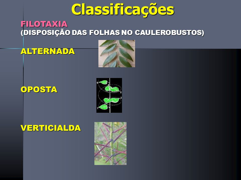 Classificações FILOTAXIA ALTERNADA OPOSTA VERTICIALDA