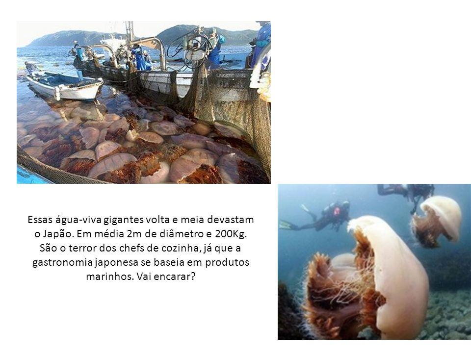 Essas água-viva gigantes volta e meia devastam o Japão