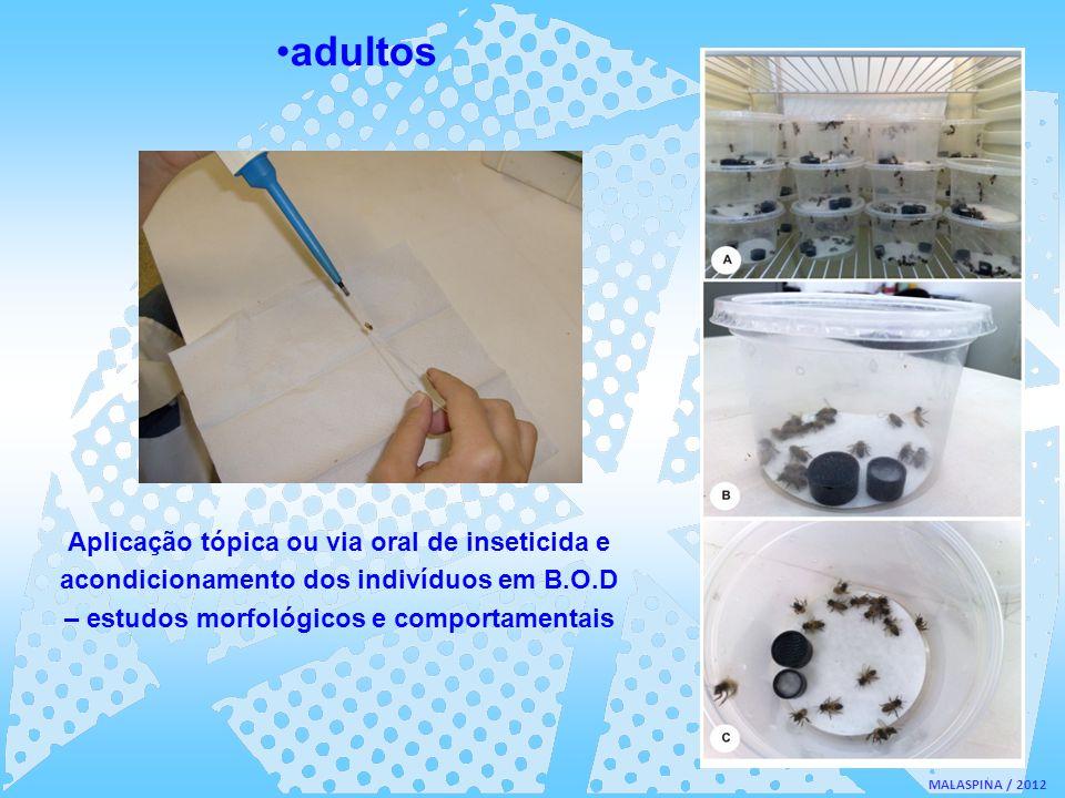 adultosAplicação tópica ou via oral de inseticida e acondicionamento dos indivíduos em B.O.D – estudos morfológicos e comportamentais.