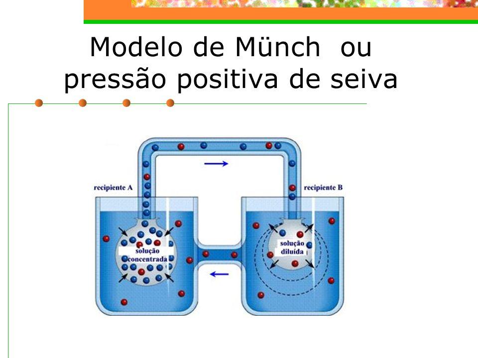 Modelo de Münch ou pressão positiva de seiva