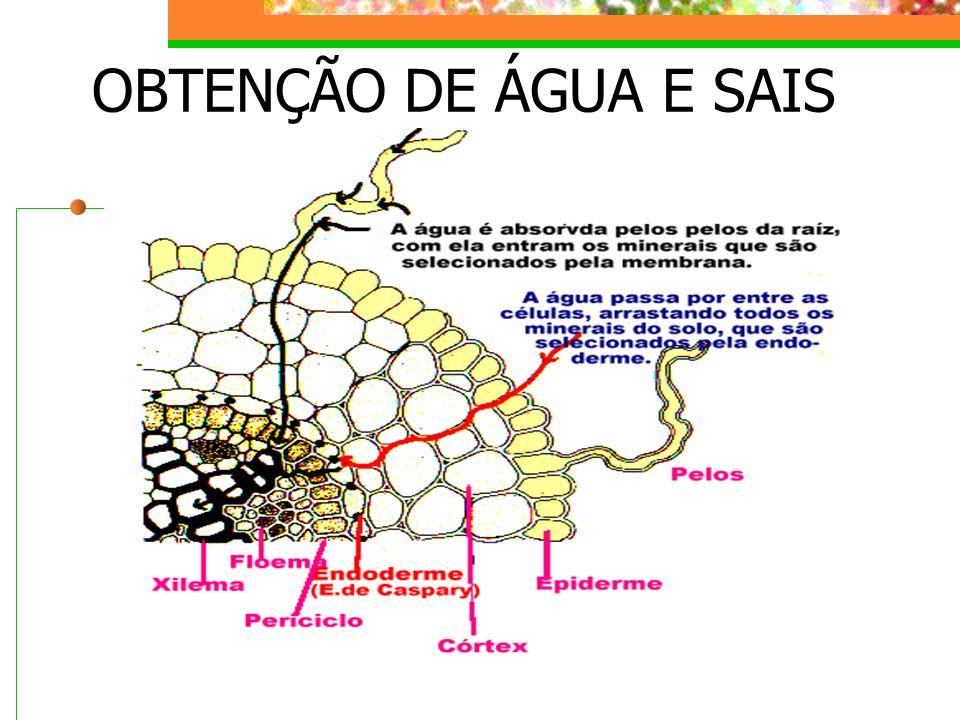 OBTENÇÃO DE ÁGUA E SAIS PELA PLANTA