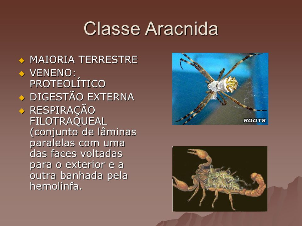 Classe Aracnida MAIORIA TERRESTRE VENENO: PROTEOLÍTICO