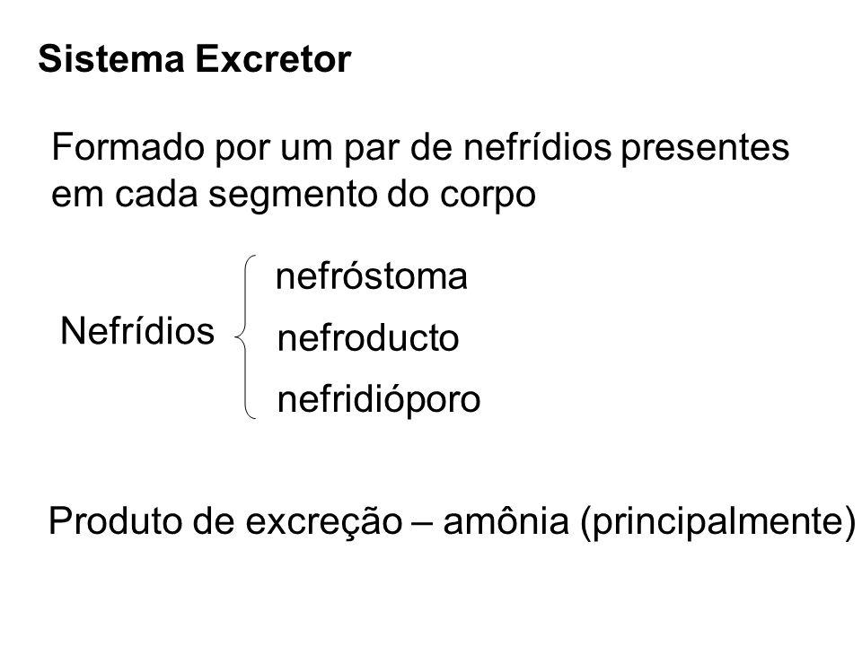 Sistema Excretor Formado por um par de nefrídios presentes. em cada segmento do corpo. nefróstoma.