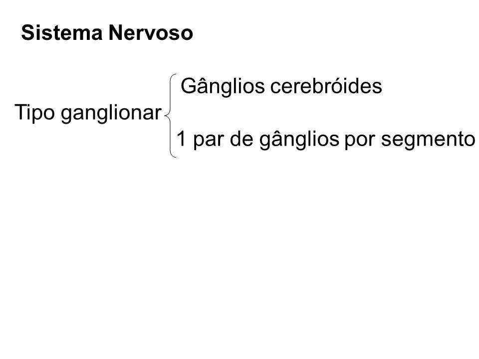 Sistema Nervoso Gânglios cerebróides Tipo ganglionar 1 par de gânglios por segmento