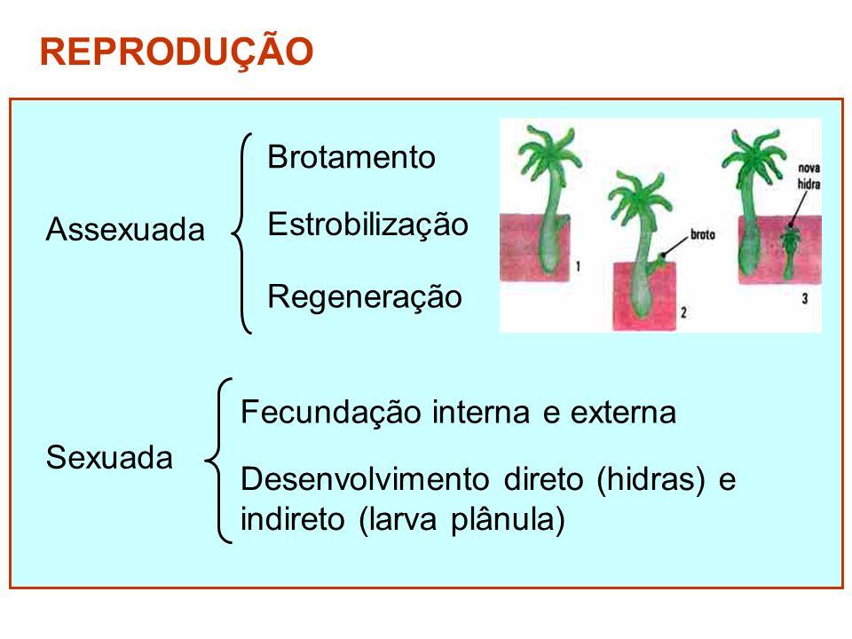 REPRODUÇÃO Brotamento Estrobilização Assexuada Regeneração
