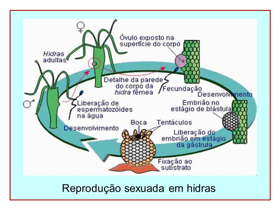 Reprodução sexuada em hidras