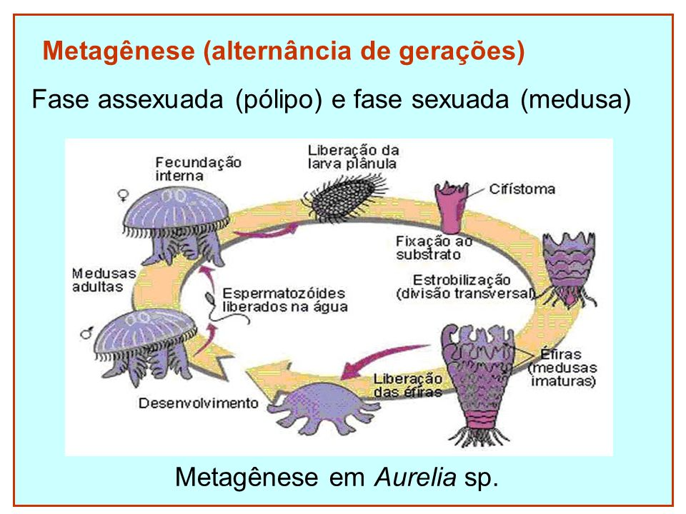 Metagênese (alternância de gerações)
