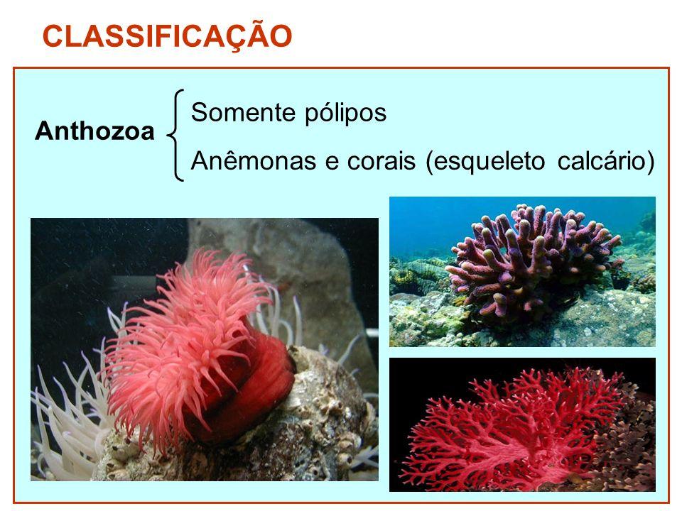 CLASSIFICAÇÃO Somente pólipos Anthozoa