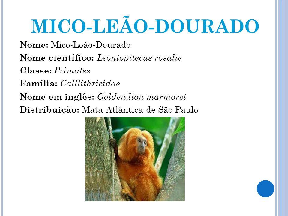 MICO-LEÃO-DOURADO