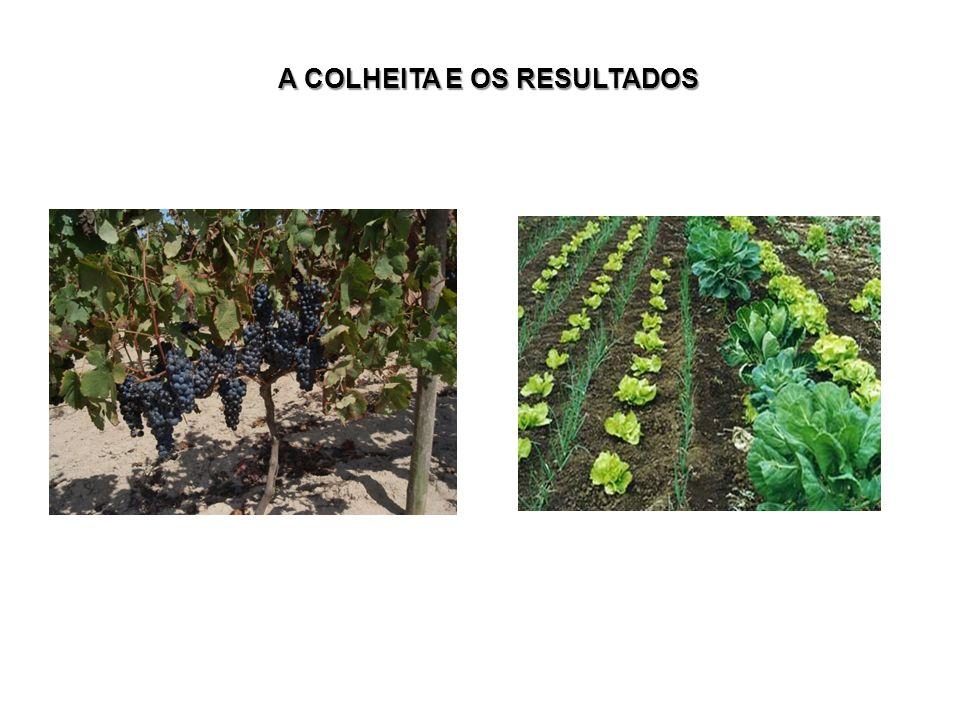 A COLHEITA E OS RESULTADOS