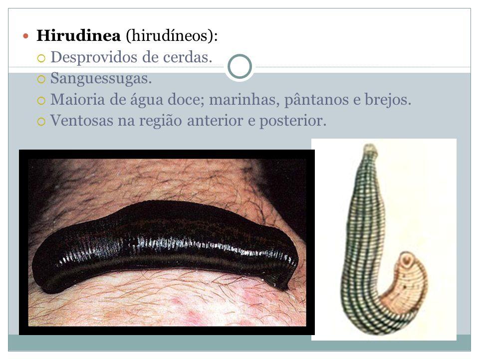 Hirudinea (hirudíneos):