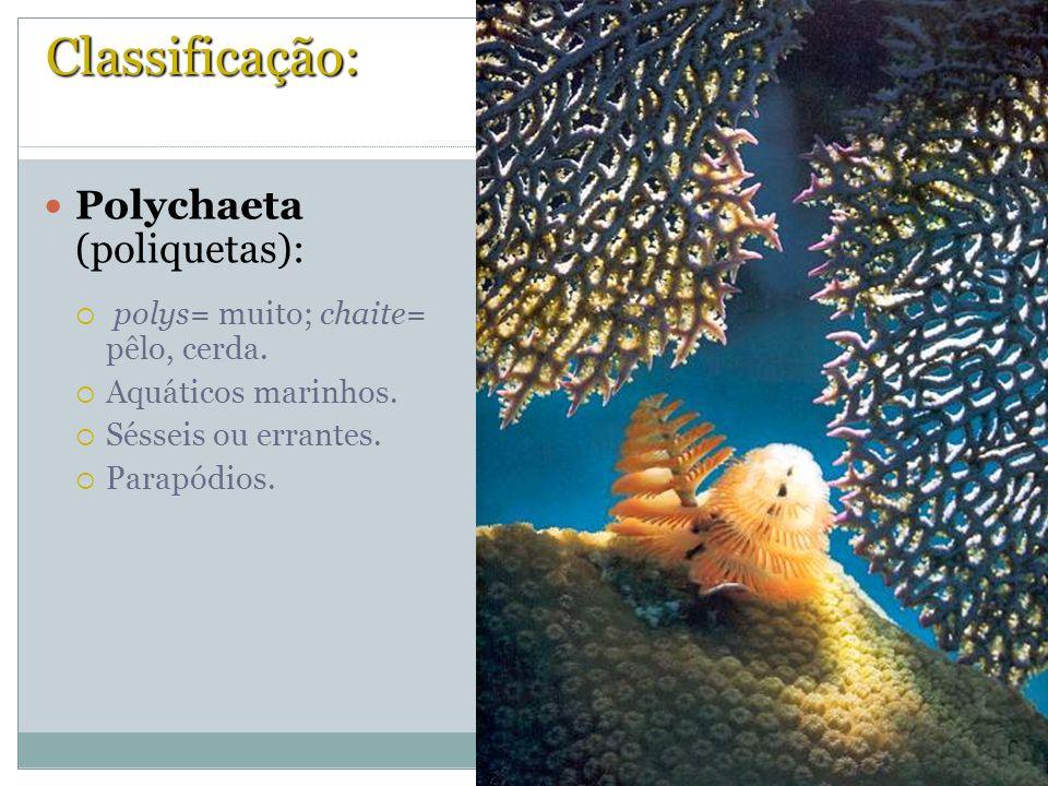 Classificação: Polychaeta (poliquetas):