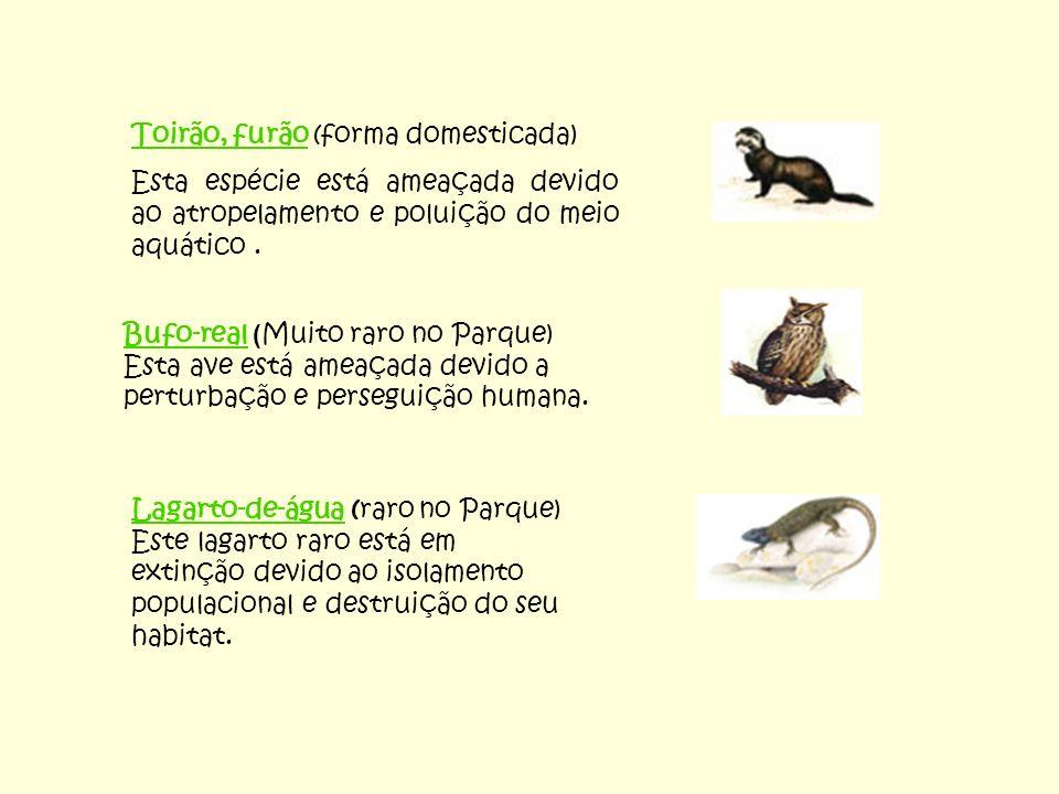 Toirão, furão (forma domesticada)