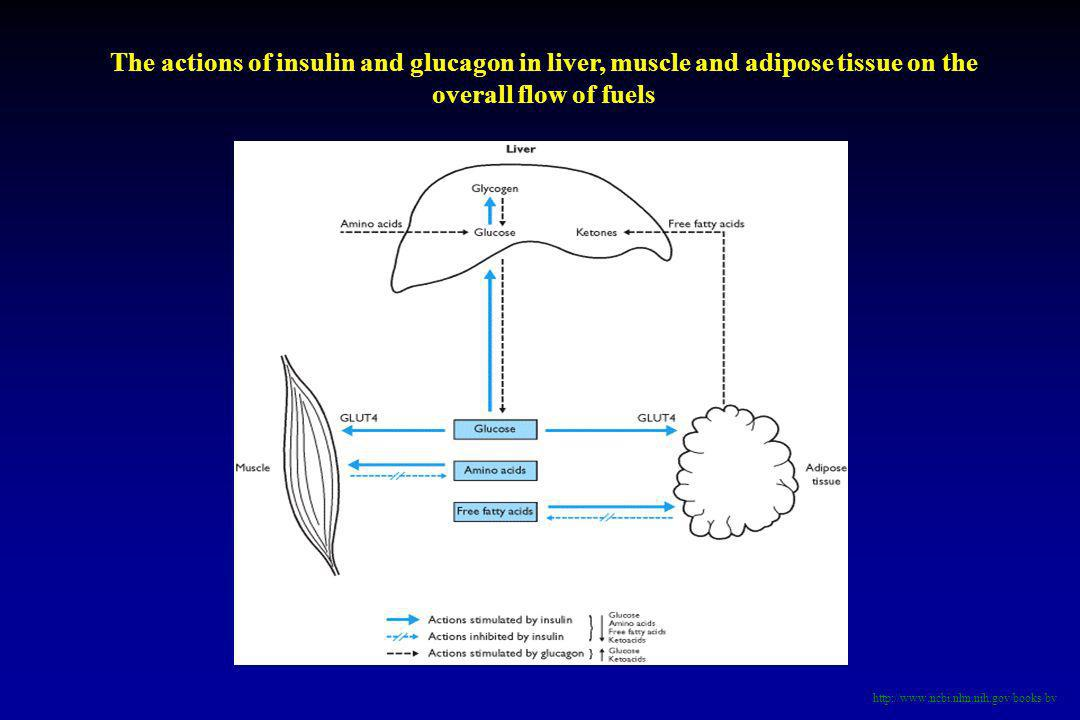 The actions of insulin and glucagon in liver, muscle and adipose tissue on the overall flow of fuels
