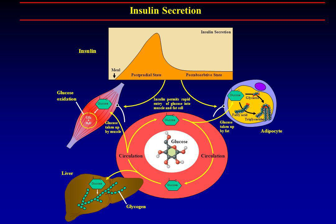 Insulin Secretion Insulin Glucose oxidation Adipocyte Glucose