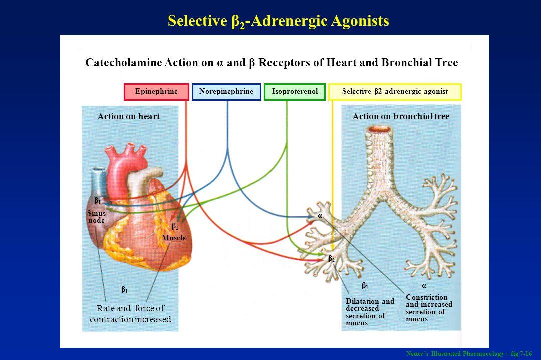 Selective β2-Adrenergic Agonists