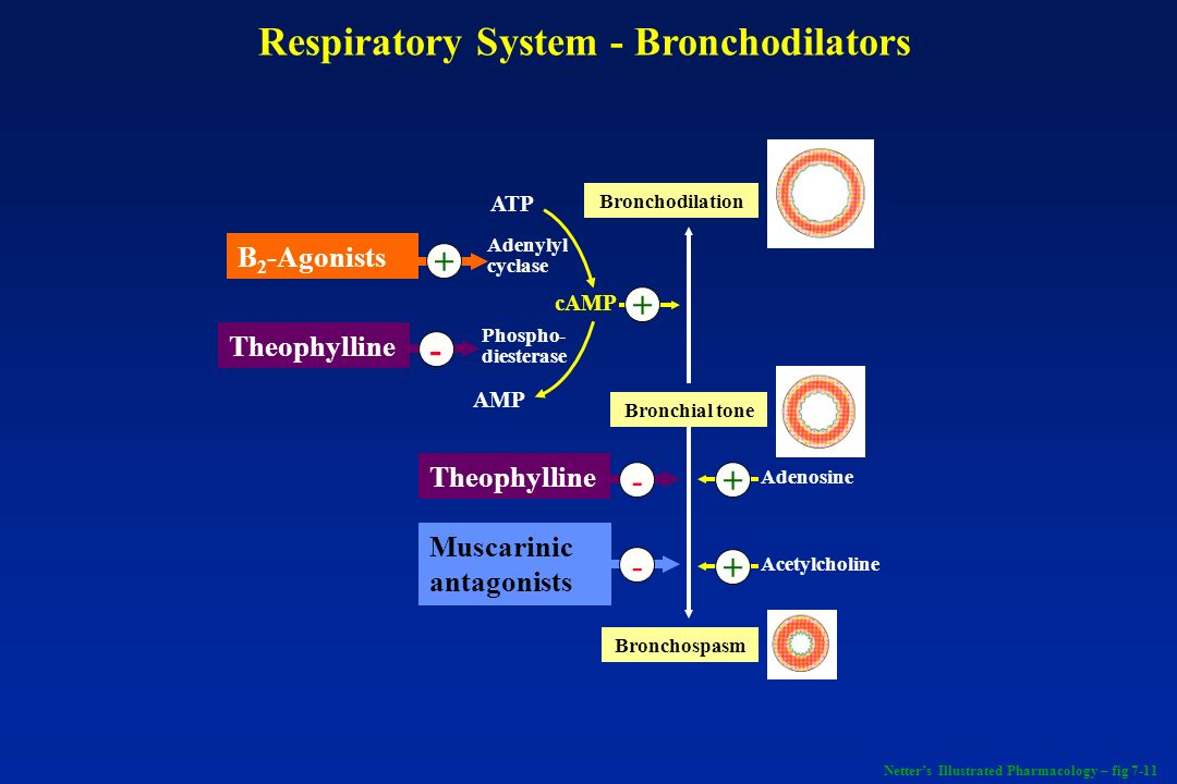 Respiratory System - Bronchodilators