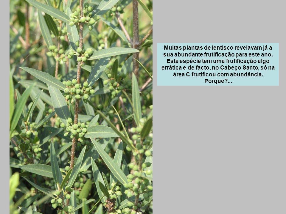 Muitas plantas de lentisco revelavam já a sua abundante frutificação para este ano.