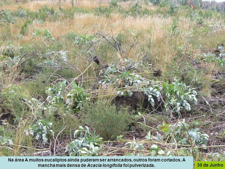 Na área A muitos eucaliptos ainda puderam ser arrancados, outros foram cortados. A mancha mais densa de Acacia longifolia foi pulverizada.