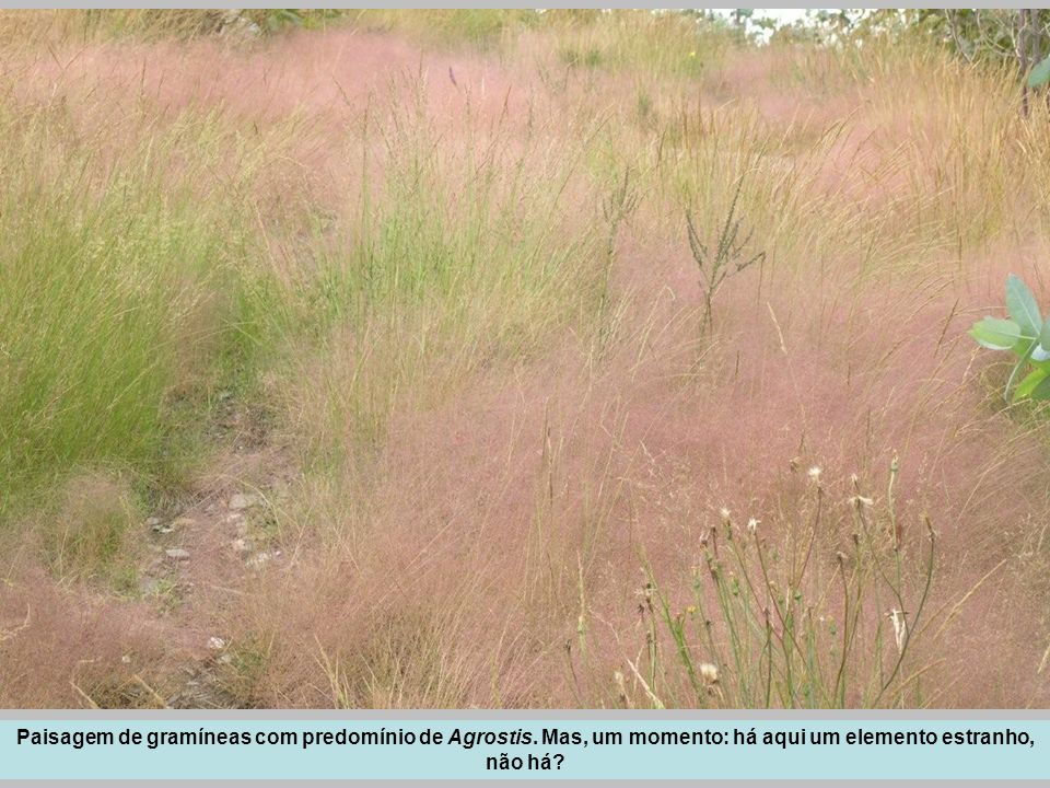 Paisagem de gramíneas com predomínio de Agrostis