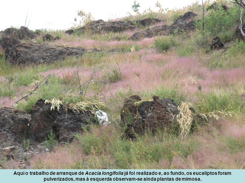 Aqui o trabalho de arranque de Acacia longifolia já foi realizado e, ao fundo, os eucaliptos foram pulverizados, mas à esquerda observam-se ainda plantas de mimosa.