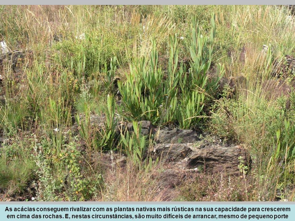 As acácias conseguem rivalizar com as plantas nativas mais rústicas na sua capacidade para crescerem em cima das rochas.