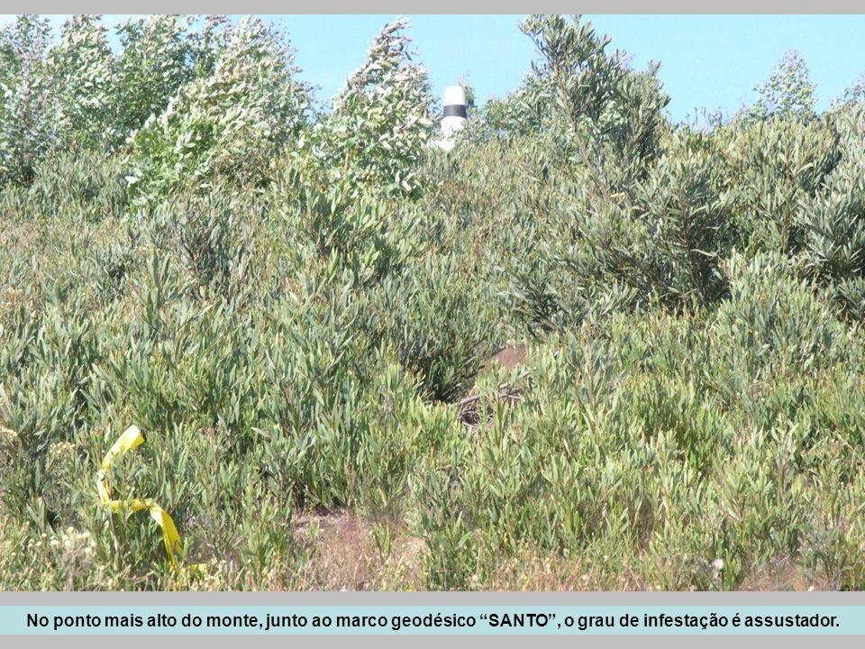 No ponto mais alto do monte, junto ao marco geodésico SANTO , o grau de infestação é assustador.