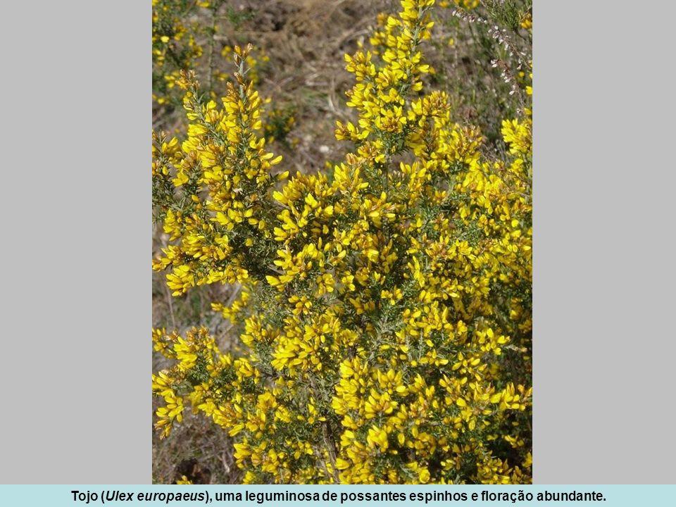 Tojo (Ulex europaeus), uma leguminosa de possantes espinhos e floração abundante.