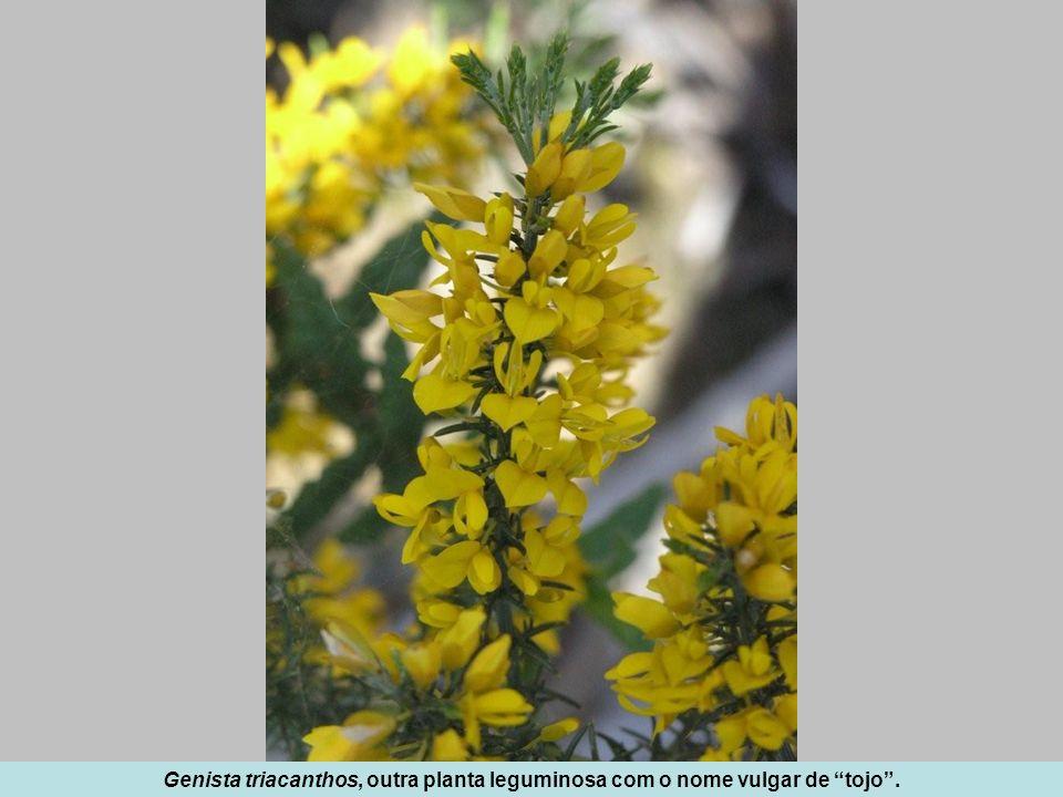 Genista triacanthos, outra planta leguminosa com o nome vulgar de tojo .