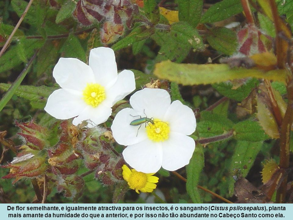 De flor semelhante, e igualmente atractiva para os insectos, é o sanganho (Cistus psilosepalus), planta mais amante da humidade do que a anterior, e por isso não tão abundante no Cabeço Santo como ela.