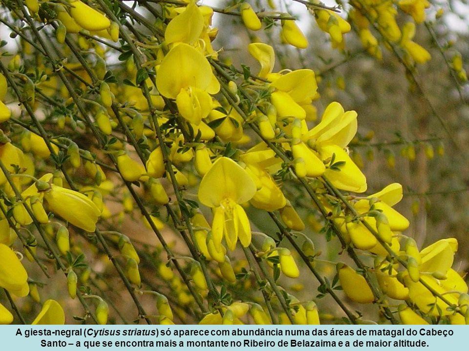A giesta-negral (Cytisus striatus) só aparece com abundância numa das áreas de matagal do Cabeço Santo – a que se encontra mais a montante no Ribeiro de Belazaima e a de maior altitude.
