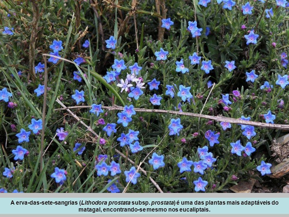 A erva-das-sete-sangrias (Lithodora prostata subsp