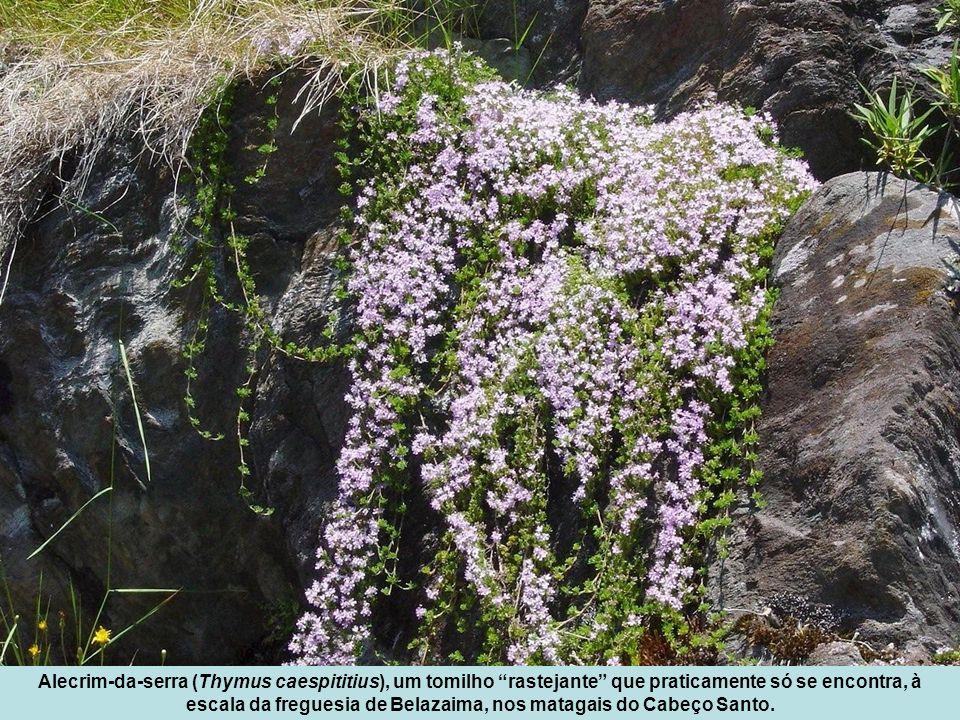 Alecrim-da-serra (Thymus caespititius), um tomilho rastejante que praticamente só se encontra, à escala da freguesia de Belazaima, nos matagais do Cabeço Santo.